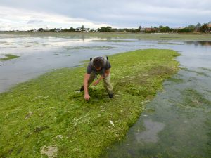 Accumulations of large seaweed mats, fuelled by nutrient pollution, can have detrimental effects on fauna living in the sediment and seagrasses