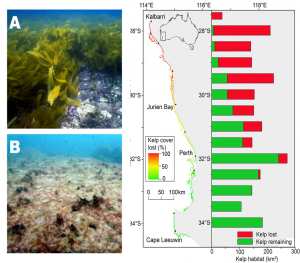 Macro-ecological patterns in phase shift from kelp forests to seaweed turfs following a heat wave in 2011 in Western Australia changing from dense Kelp forests (Ecklonia radiata) to seaweed turf (B). The map show the extent of kelp forests, with colors showing the proportion lost. The bars show the actual kelp forest areas, with an average of 40% loss (initially covering ca. 2,300 km2).