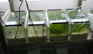 Laboratory experiment testing for interaction effects between elevated temperatures, invasive snails and drifting seaweeds on seagrass performance