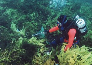 Measuring attachment strength of the kelp Ecklonia radiata in Western Australia