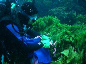 Tagging Caulerpa species in Western Australia