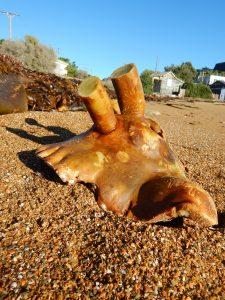 Bull kelp holdfast without epifauna