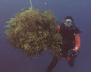 Kelp clearance experiments